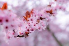 Flor de cerezo en rosa colorido Fotos de archivo libres de regalías