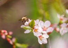 Flor de cerezo en una rama polinizada por la abeja Fotografía de archivo