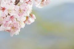 Flor de cerezo, flor rosada de Sakura aislada en el fondo blanco Fotografía de archivo libre de regalías