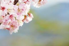 Flor de cerezo, flor rosada de Sakura aislada en el fondo blanco Fotografía de archivo