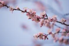 Flor de cerezo floreciente Fotos de archivo libres de regalías