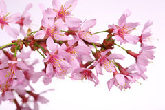 Flor de cerezo, flores de Sakura sobre blanco Fotos de archivo
