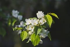 Flor de cerezo grande 8196 de la foto imágenes de archivo libres de regalías