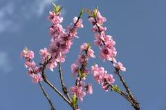 Flor de cerezo hermosa Foto de archivo libre de regalías