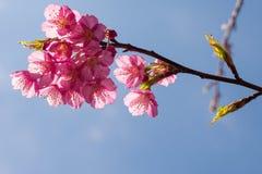 Flor de cerezo hermosa de Tailandia Imagenes de archivo