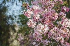 Flor de cerezo hermosa en el parque regional de Schabarum Imagenes de archivo