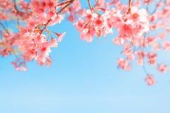 Flor de cerezo hermosa de la flor de Sakura en primavera Imagen de archivo libre de regalías