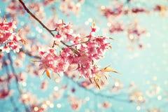 Flor de cerezo hermosa de la flor de Sakura en primavera Fotografía de archivo
