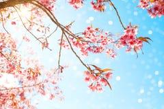 Flor de cerezo hermosa de la flor de Sakura en primavera Imagenes de archivo