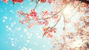 Flor de cerezo hermosa de la flor de Sakura en primavera Fotos de archivo