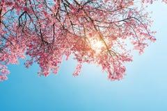 Flor de cerezo hermosa de la flor de Sakura en primavera Imágenes de archivo libres de regalías