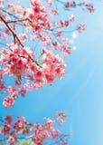Flor de cerezo hermosa de la flor de Sakura en primavera Foto de archivo