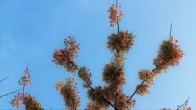 Flor de cerezo hermosa de la flor de Sakura en primavera flor del ?rbol de Sakura en el cielo azul fotografía de archivo