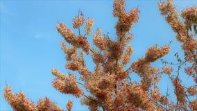 Flor de cerezo hermosa de la flor de Sakura en primavera flor del ?rbol de Sakura en el cielo azul fotos de archivo