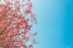 Flor de cerezo hermosa (Sakura), Chiang Mai, Tailandia Imagen de archivo