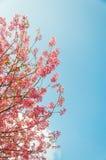 Flor de cerezo hermosa (Sakura), Chiang Mai, Tailandia Imagen de archivo libre de regalías
