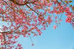 Flor de cerezo hermosa (Sakura), Chiang Mai, Tailandia Foto de archivo