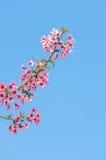 Flor de cerezo hermosa (Sakura), Chiang Mai, Tailandia Imagenes de archivo