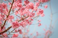 Flor de cerezo hermosa Sakura imagenes de archivo