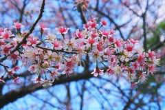 Flor de cerezo Himalayan salvaje hermosa Foto de archivo
