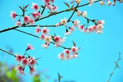 Flor de cerezo Himalayan salvaje hermosa Imagen de archivo