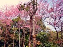 Flor de cerezo Himalayan salvaje hermosa Foto de archivo libre de regalías