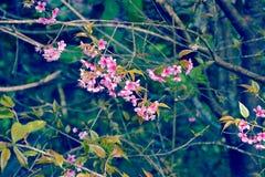 Flor de cerezo Himalayan salvaje hermosa Imagenes de archivo