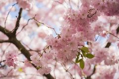 Flor de cerezo japonesa en el cementerio de Bisbebjerg Foto de archivo libre de regalías