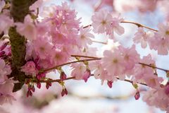 Flor de cerezo japonesa en el cementerio de Bisbebjerg Imagen de archivo libre de regalías