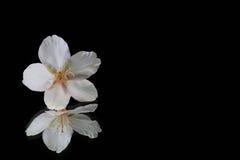 Flor de cerezo japonesa en el negro 2 de la reflexión Imagen de archivo