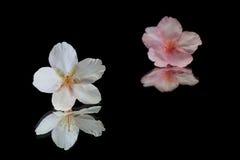 Flor de cerezo japonesa en negro de la reflexión Imagen de archivo libre de regalías