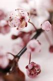 Flores de cerezo Fotos de archivo libres de regalías