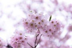 Flor de cerezo japonesa y x28; Tree& x29 de Sakura; SE de la estación de primavera o del hanabi Fotos de archivo
