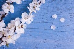 Flor de cerezo de la primavera en fondo de madera rústico Imagen de archivo libre de regalías