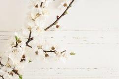 Flor de cerezo de la primavera en fondo de madera rústico Foto de archivo libre de regalías