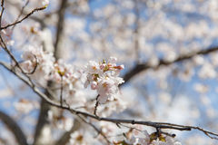 Flor de cerezo Nueva York de la primavera Imagen de archivo