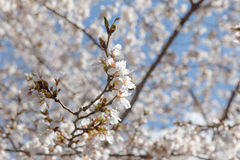Flor de cerezo Nueva York de la primavera Imágenes de archivo libres de regalías