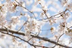 Flor de cerezo Nueva York de la primavera Foto de archivo