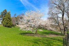 Flor de cerezo Nueva York de la primavera Fotografía de archivo
