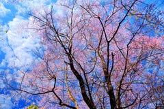 Flor de cerezo o flores de Sakura Fotos de archivo