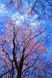 Flor de cerezo o flores de Sakura Imágenes de archivo libres de regalías