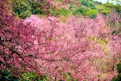 Flor de cerezo o flores de Sakura Foto de archivo