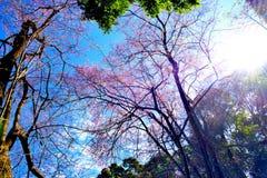 Flor de cerezo o flores de Sakura Imagen de archivo libre de regalías