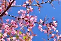 Flor de cerezo o flores de Sakura Imagenes de archivo