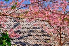 Flor de cerezo o flores de Sakura Fotos de archivo libres de regalías
