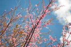 Flor de cerezo o flores de Sakura con el cielo azul imágenes de archivo libres de regalías