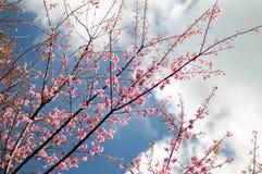 Flor de cerezo o flores de Sakura con el cielo azul foto de archivo