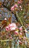 Flor de cerezo ornamental rosada de Sakura Fotos de archivo libres de regalías