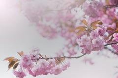 Flor de cerezo para el fondo fotografía de archivo libre de regalías