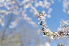 Flor de cerezo que bendice la parte II Fotografía de archivo libre de regalías
